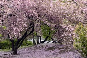 bourgeon fleur cerisier